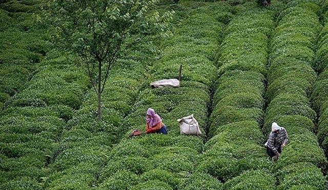 Yaş çay alım fiyatı açıklandı