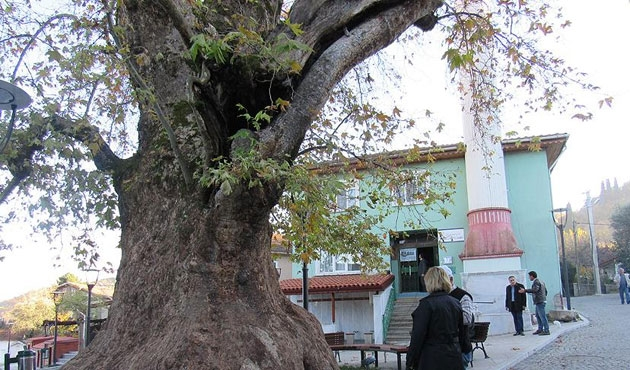 Kocaeli'deki anıt ağacın yaşı 'bin 224' çıktı