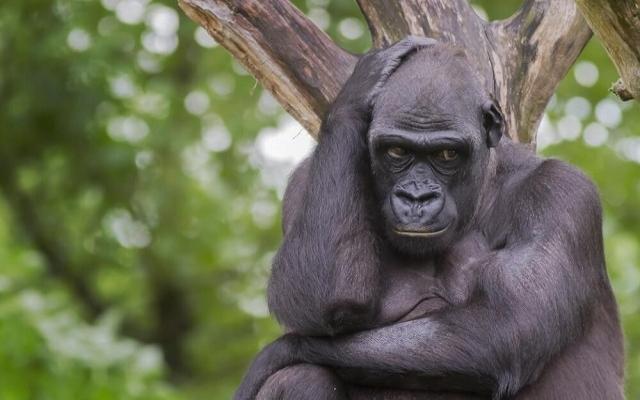ABD'de gümüş sırtlı goril tartışması