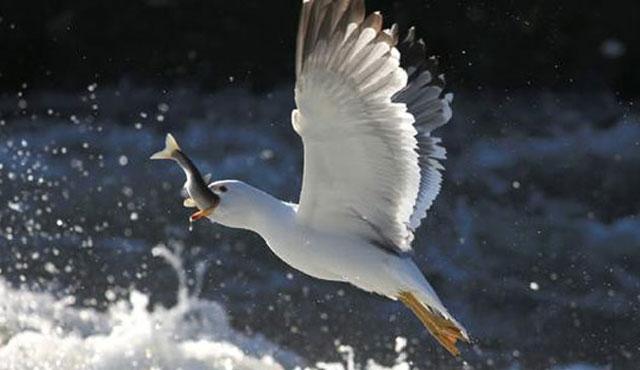 İnci kefalinin muhteşem göçü başladı