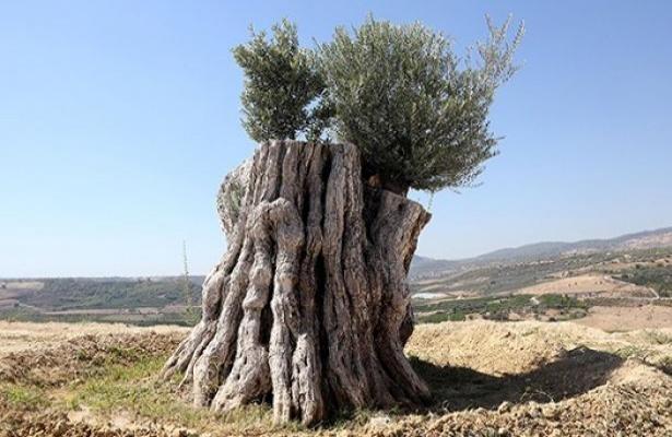 800 yıllık kurumuş zeytin yeniden meyve verdi