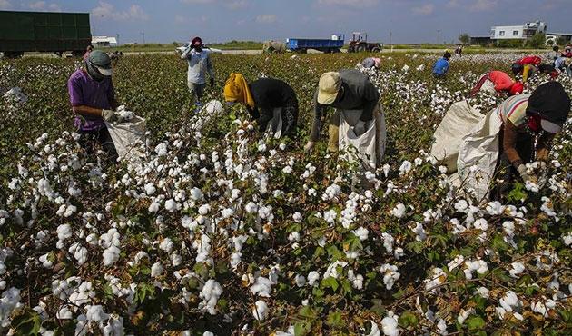 Pamuk işçileri 14 saat çalışıyor