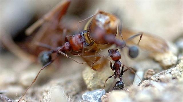 Ateş karıncaları Avustralya'yı tehdit ediyor