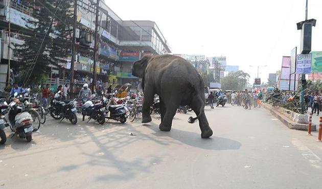 Hindistan'da fil terörü: 14 ölü