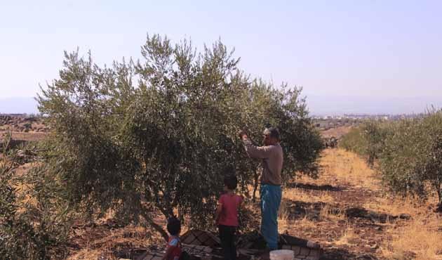 Kuşatma altında zeytin hasadı