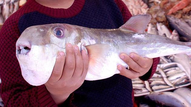 Japonya'da balon balığı alarmı