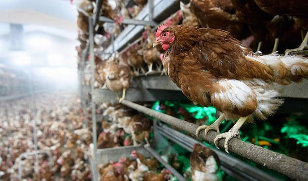 Kuveyt İspanya'dan kanatlı hayvan ithalatını yasakladı