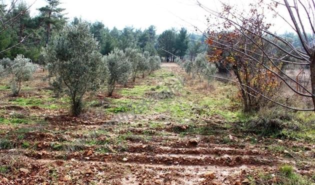 Yangında zarar gören alana 3 bin zeytin fidanı
