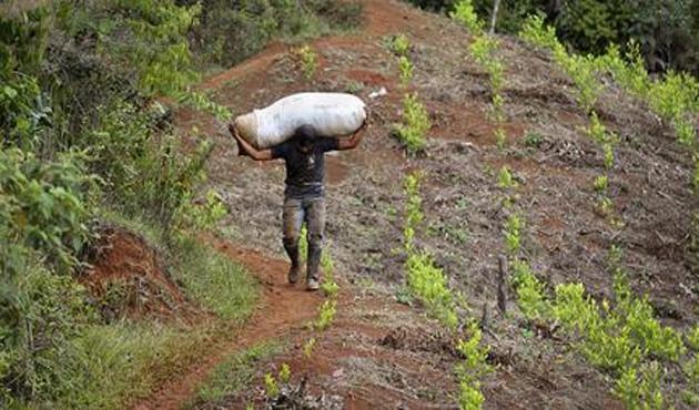 11 bin aile koka bitkisi ekmekten vazgeçti