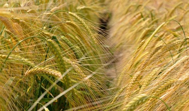 Güney Kore Kanada buğdayından vazgeçti