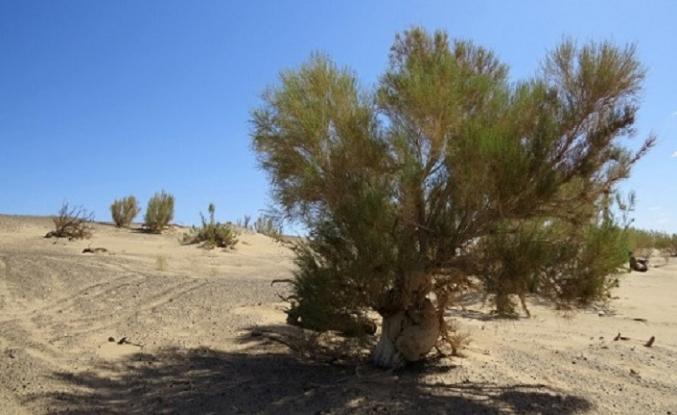 Özbekistan'da, Aral Denizi'nin kurumuş dibine bir ağaç dikilecek