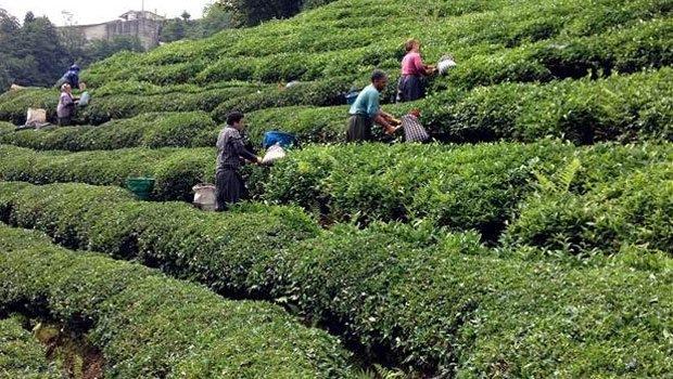 Çay üreten çiftçiye fark ödemesi yapılacak