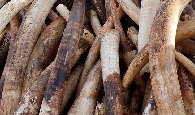 Çin'de 1 ton mamut dişi ele geçirildi